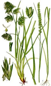 Dactyle aggloméré (Dactylis glomerata L.)