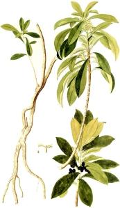 Daphné lauréolé (Daphne laureola L.)