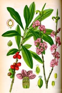 Daphne mezereum L. (Bois-gentil)