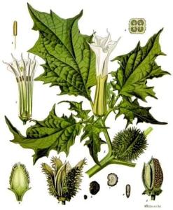 Datura (Datura stramonium L.)