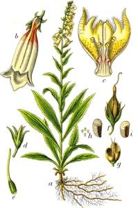 Digitale à grandes fleurs - (Digitalis grandiflora)