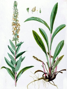 Digitale laineuse (Digitalis lanata)