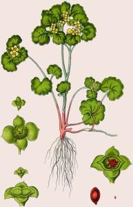 Dorine à feuilles opposées (Chrysosplenium oppositifolium)