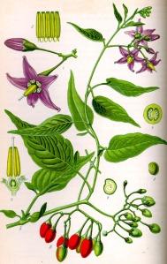 Douce-amère (Solanum dulcamara)