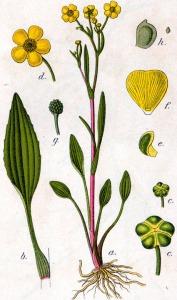Douve (petite) (Ranunculus flammula L.)