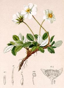 Dryade (Dryas octopetala)