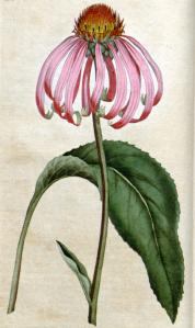 Echinacea (Echinacea purpurea L.)