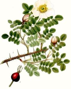 Eglantier pimprenelle (Rosa pimpinelliflora L.)