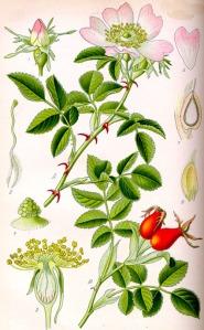 Eglantier (Rosa canina L.)