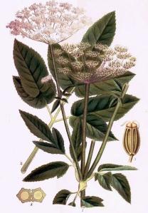 Egopode podagraire (Aegopodium podagraria L.)