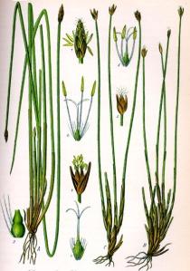 Eléocharide des marais (Eleocharis palustris L.)