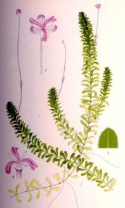 Elodée du Canada (Elodea canadensis)