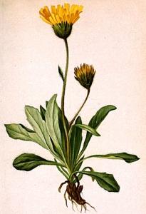 Epervière alpine - (Hieracium alpinum)