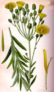 Epervière en ombrelle (Hieracium umbellatum L.)