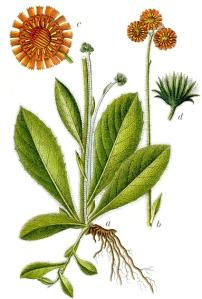 Epervière orangée - (Hieracium aurantiacum)