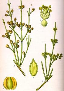 Ephédra (Ephédra sinica)