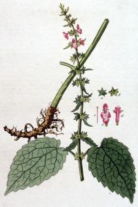 Epiaire des bois (Stachys sylvatica L.)
