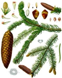 Epicea (Picea abies L.)