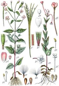 Epilobe des montagnes (Epilobium montanum L.)