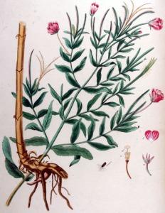 Epilobe hérissé (Epilobium hirsutum L.)