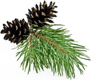 Epinette noire (Picea mariana)