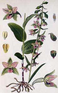 Epipactis à larges feuilles (Epipactis heeleborine L.)