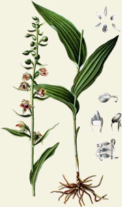 Epipactis à larges feuilles - (Epipactis helleborine)