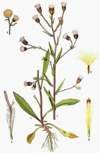 Erigéron âcre (Erigeron acer L.)
