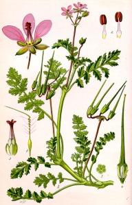 Erodium à feuilles de Ciguë (Erodium cicutarium L.)