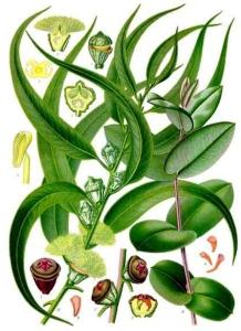Eucalyptus (Eucalyptus globulus)