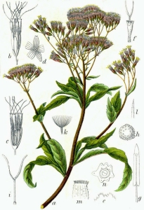 Eupatoire (Eupatorium cannabinum)