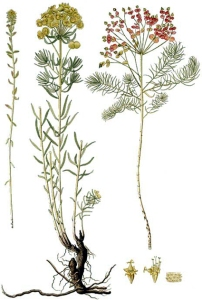 Euphorbe petit-cyprès (Euphorbia cyparissias L.)