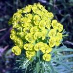 Euphorbe petit-cyprès
