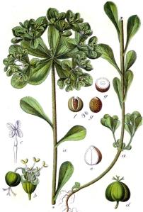 Euphorbe réveille-matin (Euphorbia helioscopia L.)