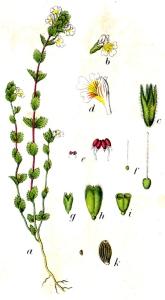 Euphraise des bois (Euphrasia nemorosa)
