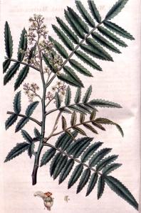 Faux-poivrier odorant (Schinus molle)