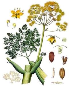 Férule gommeuse (Ferula gummosa)