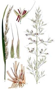 Fenasse (Arrhenatherum elatius L.)