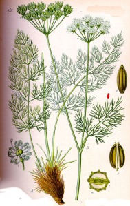 Fenouil des Alpes - (Meum athamanticum)