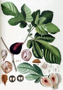 Figue (Ficus carica)
