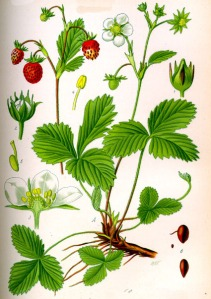Fraisier sauvage (Fragaria vesca)