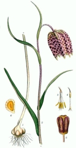 Fritillaire (Fritillaria tubaeformis)