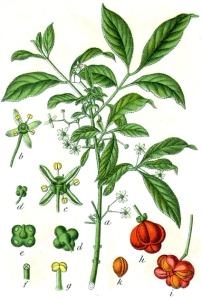 Fusain d'Europe (Euonymus europaeus L.)