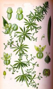 Gaillet gratteron (Galium aparine L.)