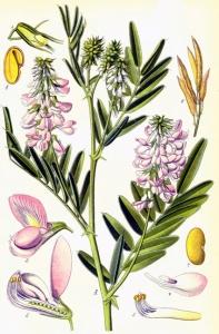 Galega (Galega officinalis)
