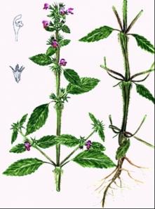 Galeopsis tétrahit (Galeopsis tetrahit)