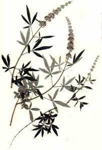 Gattilier (Vitex agnus castus L.)