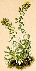 Génépi vrai (Artemisia eriantha)