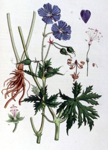 Géranium des prés (Geranium pratense L.)