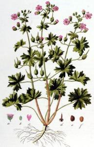 Géranium mou (Géranium molle L.)